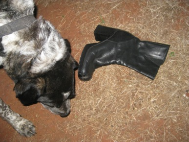 Bongo sniffing near a boot