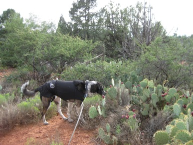 Bongo checking out a patch of prickly pear cactus
