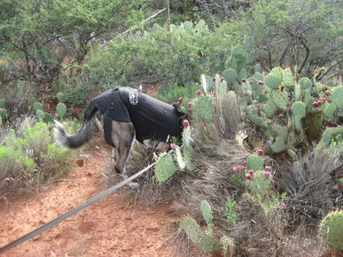 Bongo's head inside the prickly pear patch