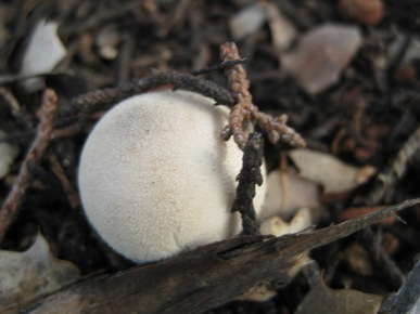 Dot Mushroom Surrounded by Twigs