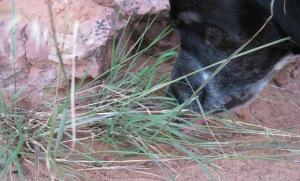 Bongo Eating Weeds