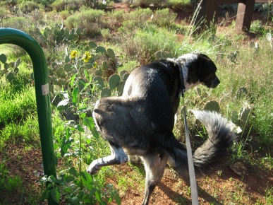 Bongo wetting the sunflowers