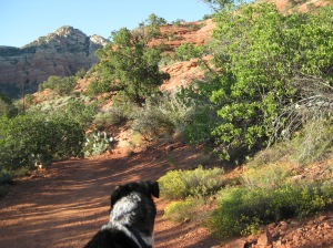 Bongo Looking Down the Trail