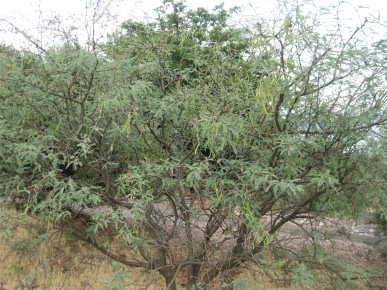 Mesquite tree with seed pods