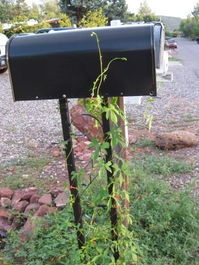 Vine growing up mailbox