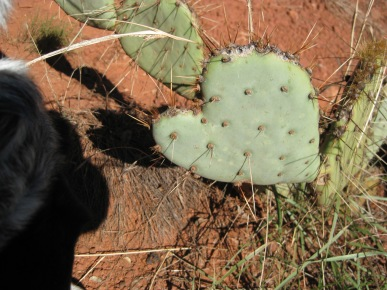 Prickly Pear Heart Shaped Cactus