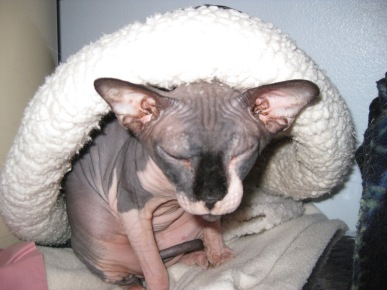 Mouse the Hairless Cat