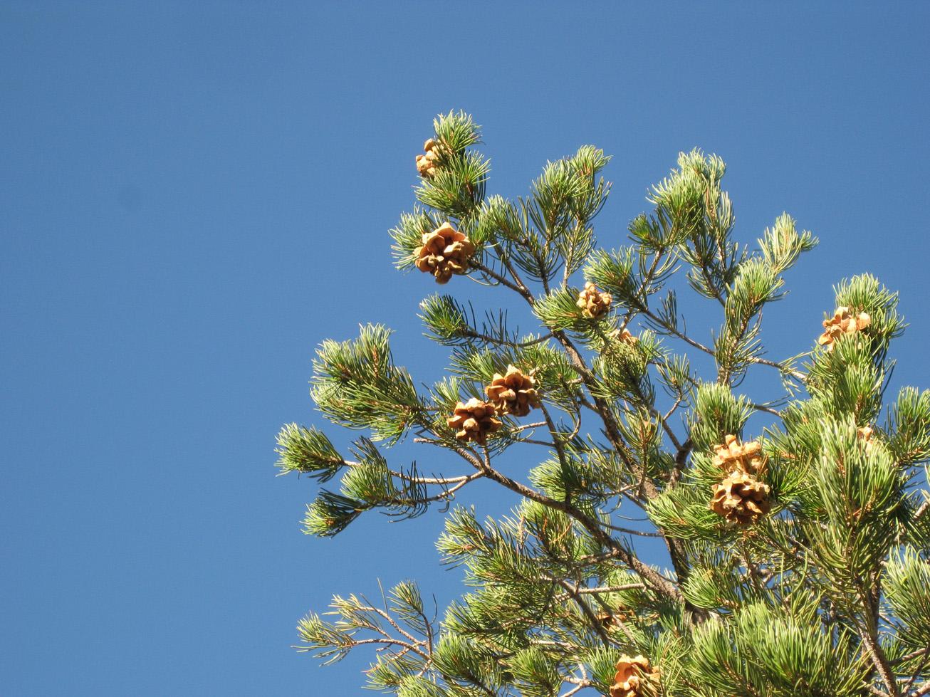 Dog Eat Pine Nuts
