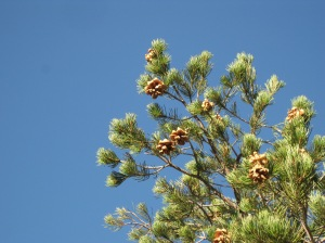 Pine Tree with Cones