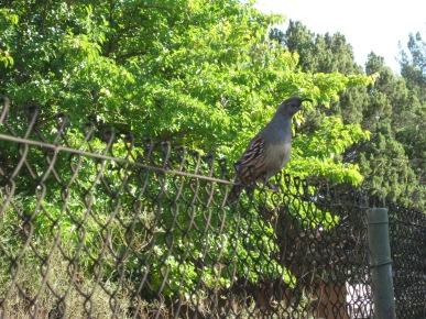 Quail on a fence