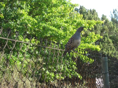 Quail on a fence