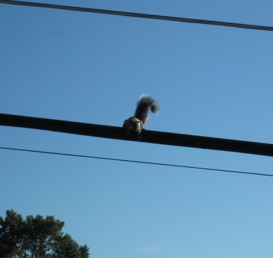 Squirrel looking down from the wire