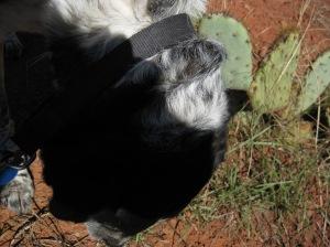 Bongo eating weeds near cactus
