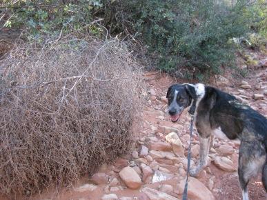 Bongo near a tumbleweed