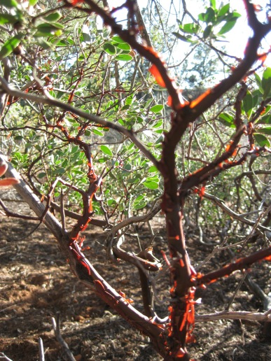 Manzanita with light shining through the bark