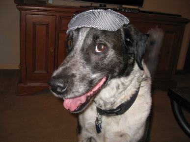 Bongo looking snazzy with his Detective Dog hat on