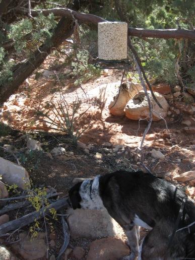 Bongo below a bird seed hanger