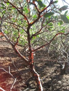 Manzanita with light shining through loose bark