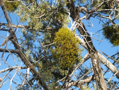 Mistletoe in a Juniper Tree