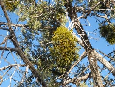 Mistletoe in a Juniper Tree