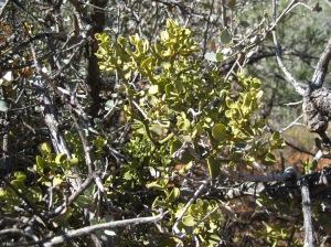 Mistletoe in a bush