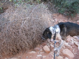 Bongo Sniffing a Tumbleweed