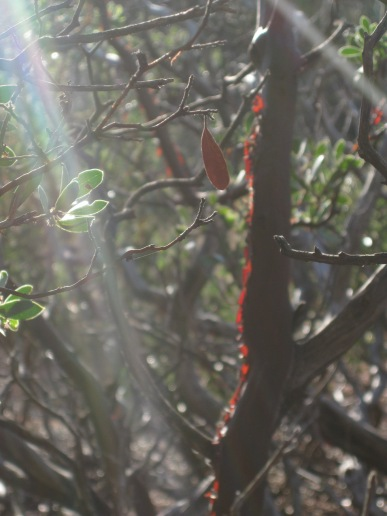 Manzanita with light shining through the loose trunk bark