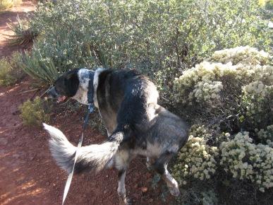 Bongo watering a fuzzball bush