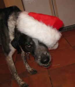 Bongo Looking Angry in a Santa Hat