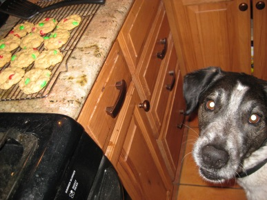 Bongo and Cookies on the Counter