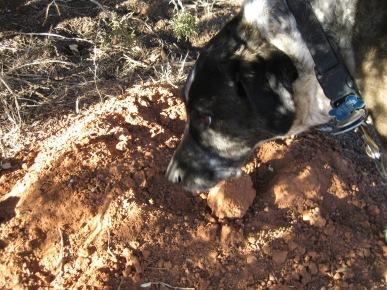 Bongo sniffing a gopher mound