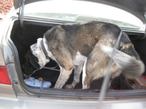 Bongo crawling in the trunk of a car