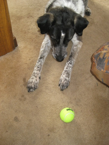 Bongo looking at a tennis ball