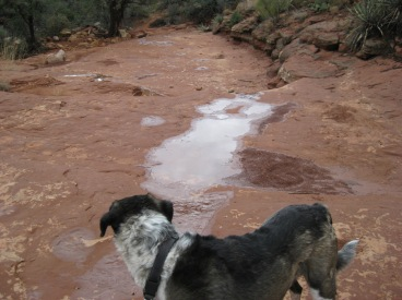Bongo looking at a trail of water