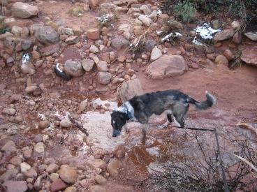 Bongo enjoying the puddle