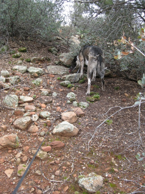 Bongo eating weeds among the rocks
