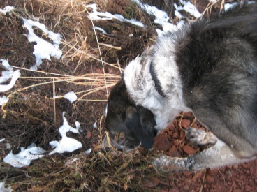 Bongo chomping on weeds with snow patches