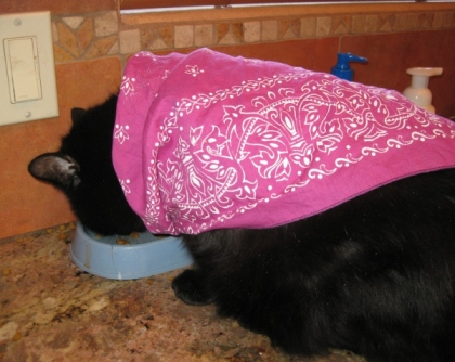 Scratchy wearing a bandana and eating
