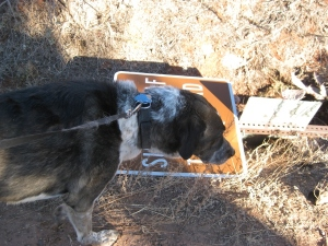 Bongo next to a downed trail sign