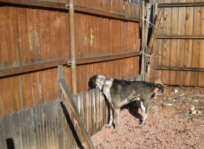 Bongo peeking down over the short fence