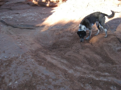 Bongo sniffing the dirt