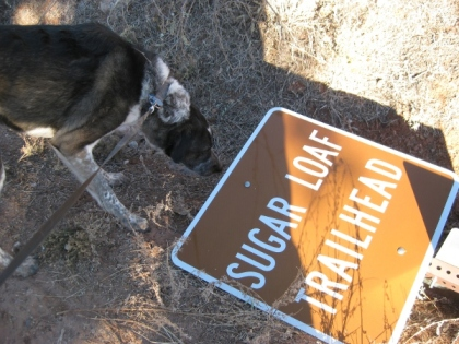 Bongo sniffing the downed trail sign