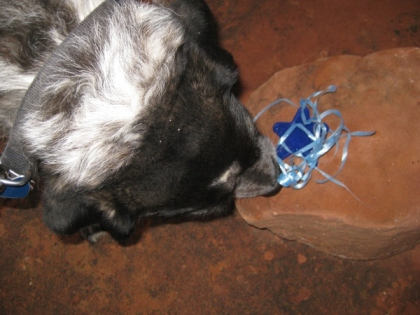 Bongo sniffing what he found