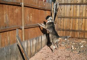 Bongo jumping on the fence