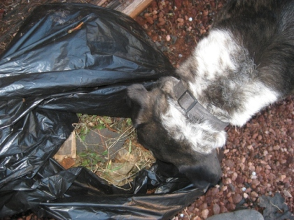 Bongo sticking his head in the weed bag
