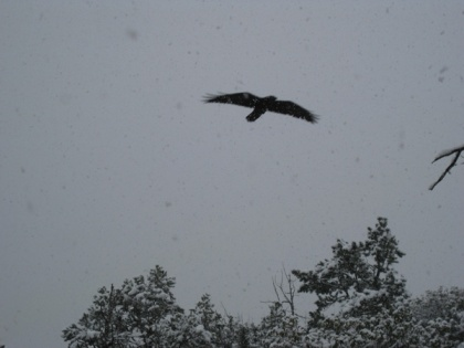 Raven flying in a snowstorm