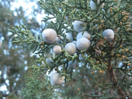 Juniper berries on the tree