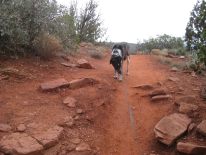 Bongo on the trail holding back