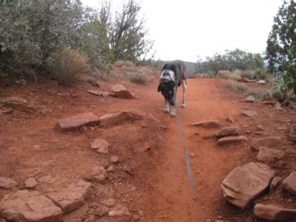 Bongo on the trail holding back