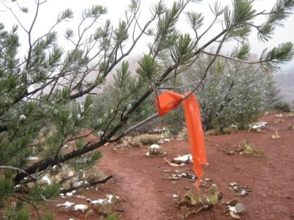 Orange ribbon in pine tree